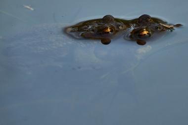 Erdkröten bei der Paarung ©ru4change.net