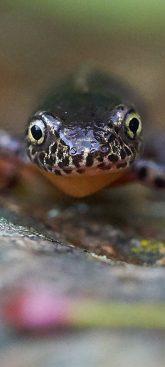 Bergmolch © https://www.ru4change.net/wildlifephotography