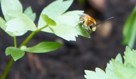 Langhornbiene ©ru4change.net