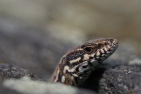 Mauereidechse © https://www.ru4change.net/wildlifephotography